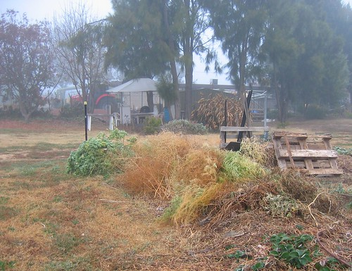 foggy morning - aspargus on compost