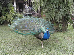 Peacock at Bali Bird Park