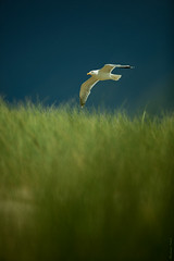 Just passing by (Bastiaan Schuit) Tags: blue sky holland green bird beach nature netherlands grass canon gull passing simple helm egmond abigfave ubej