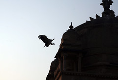 Landing, Orchha, India (greenwood100) Tags: india wing beak vulture orcha madhyapradesh orchha jehangirmahal urchha