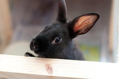 Guai Guai (bovinemagnet) Tags: black cute rabbit bunny looking little cutie