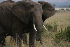 449 (Jordan Torrilla) Tags: africa elephant kenya east safari mara elephants migration 2008 masai grinstead