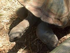Galápagos Tortoise 3, Melbourne Zoo