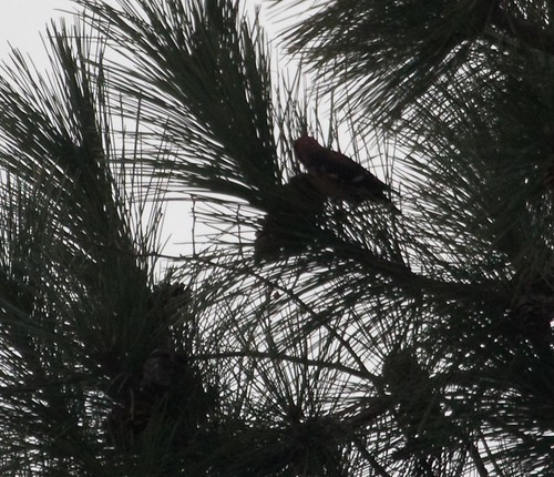 Distant, backlit Crossbills