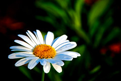 Margarita blanca (victor mendivil) Tags: parque white flower blanco peru garden nikon lima flor margarita nikkor magdalena jardín pétalos cruzadas d80 mywinners 18135mmf3556g ltytr2 ltytr1 ltytr3 platinumheartaward peruvianimages cruzadasgold goldcruzadas victormendivil