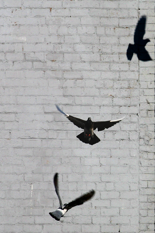 three? pigeons
