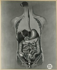 Anatomical drawing of digestive system (Reeve 079110-1), National Museum of Health and Medicine