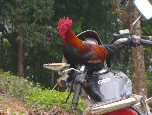 tea rooster