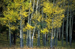 Aspens 9C, Rocky Mountain National Park, Colorado (sethgoldstein72) Tags: vibrant riceworld cesco allwelcome kartpostal fantasticnature peaceaward flickraward flickrbronzeaward earthhome freenature exemplaryshotsflickrsbest platinumstar natureislovely myfavoriteforestphoto artofgod naturelimited crazyaboutnature qualitypixels worldnaturewildlifecloseup doubledragonawards naturegreenstar flickrmasterpieces elclickdenikon earthimages flickrsgottalent mothernaturesgreenearth naturesanctuary flickrbuttonfreeforall flickrtravelaward leavesreedsmushroomsmoss thethreeangelslevel1blueangel absolutelybeautyabsolutamentebello brigettesbeautifulnaturegallery ineedatree level1allnaturesparadise flickrstruereflection1 autofocuslevel1 myfavoriteforestphotoforestfinestcontest