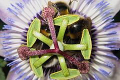 Passiflora 'Lambiekins' with Bombus terrestris close up (passionflow) Tags: passiflora bombus terrestris lambiekins