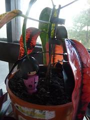 """Codiaeum """"Croton"""""""