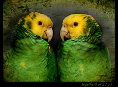 ~ the couple ~ ;-) (together8) Tags: texture colors birds animals zoo couple parrot papagei nikond40 citrit multimegashot vosplusbellesphotos saariysqualitypictures together8 artistictreasurechest imagesforthelittleprince musicsbest trolledproud