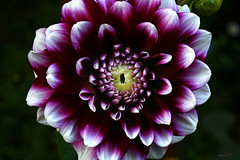 A Flower for Friday (raineys) Tags: dahlia santacruz flower macro nature closeup searchthebest calfiornia neighborsflower abigfave raineys inthecourtyard masterphoto vosplusbellesphotos
