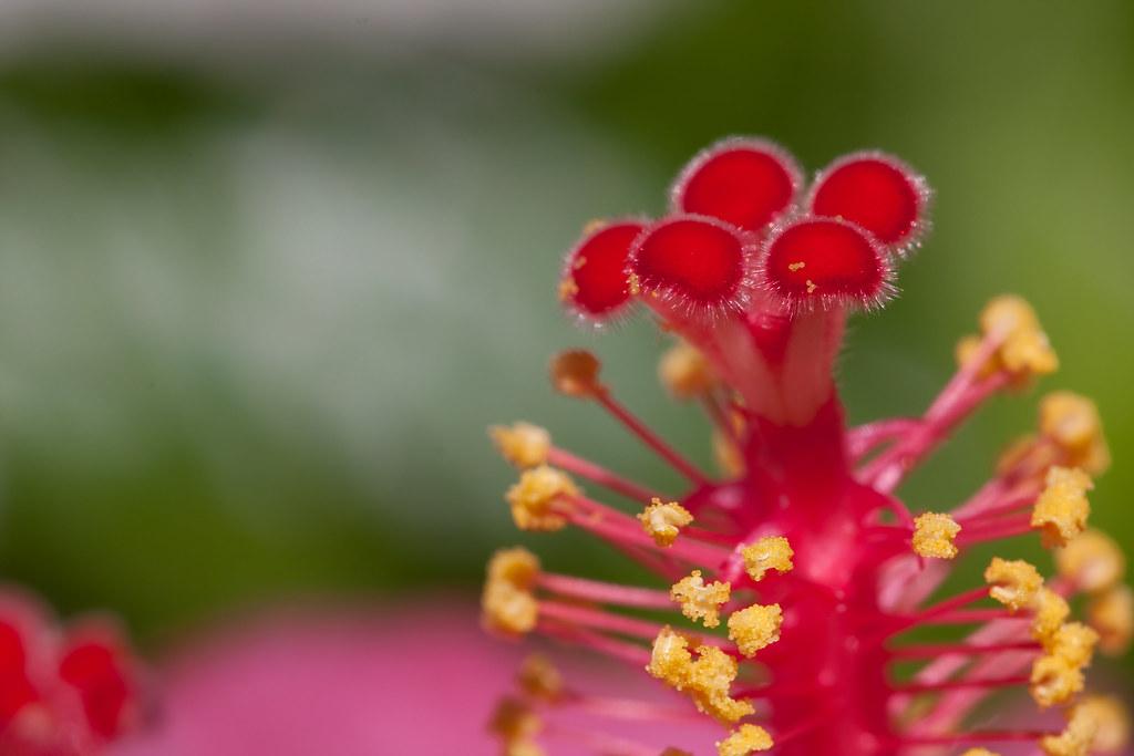 Hibiscus Macro 2