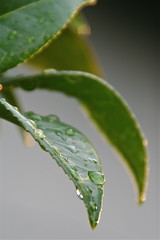 replenished ( RocoPoc ) Tags: green wet water rain golden droplets leaf bokeh sunlit sparles