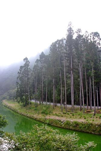 霧氣×杉林×溪。