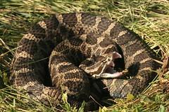 Yaaawwwnnn! (Nick Scobel) Tags: snake michigan yawn fangs viper eastern rattlesnake venomous massasauga catenatus sisturus