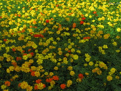 Flowers! (kishore_rp) Tags: flower lalbagh bengaluru lalbaghflowershow2009