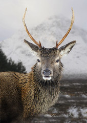 Stag on Rannoch Moore