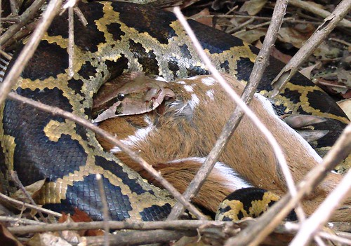 Python swallowing spotted deer