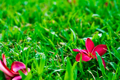 the fall (ion-bogdan dumitrescu) Tags: pink red flower green grass singapore plumeria fuchsia frangipani bitzi summer09 himatanthus ibdp mg7193 findgetty ingcard ibdpro wwwibdpro ionbogdandumitrescuphotography