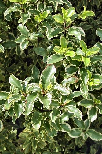 Pittosporum tenuifolium 'Garnettii' (rq) - 02