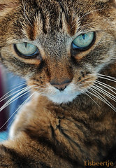 Toni (Eisbeertje) Tags: pet cats pets animal animals cat katten kat toni dieren dier poes poezen unamourdechat 16092009