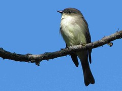 Eastern Phoebe / Moucherolle (YvesGe) Tags: bird phoebe eastern easternphoebe s