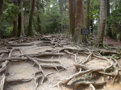 Cedar Roots, Kibune, Kyoto
