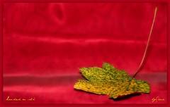 Landed on silk (LETHO 2706) Tags: autumn red rot yellow schweiz leaf swiss herbst silk gelb blatt landed picnik swizerland seide autumnleaf gelandet herbstblatt bysne gerlafinge