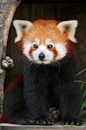red panda standing. Posing red panda 2