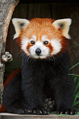 Posing red panda 2 (Tambako the Jaguar) Tags: red black cute love animal closeup mammal zoo switzerland firefox nikon panda small adorable posing fluffy cuddly plushie lovely rheintal d300 vosplusbellesphotos