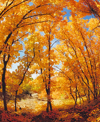 "Grove of Maple Trees in Autumn Colors (IronRodArt - Royce Bair (""Star Shooter"")) Tags: autumn trees red orange fall colors leaves tooth leaf big maple arch grove secret fisheye hidden acer effect arching bigtooth grandidentatum mountneboscenicbyway"