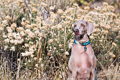 498 (Rouxby Fine Art Photography) Tags: weimaraner dogphotography goldenco dogphotographer rouxbyfineartphotography