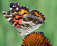 (Ks Ed) Tags: animals butterfly paintedlady