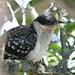 Cuco-rabilongo - Clamator glandarius - Great Spotted Cuckoo