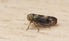 Cicada species (henk.wallays) Tags: macro nature up cicada insect close wildlife leafhoppers cicade natuer wildilife 20110507maldegemveld