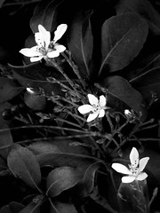 Trio of White Flowers (scilit) Tags: flowers blackandwhite white plant nature monochrome flora florida wildflowers blackdiamond blueribbonwinner explored bej passionphotography mywinners diamondclassphotographer flickrdiamond amazingamateur overtheexcellence flickrphotographeraward monochromeart wonderfulworldofflowers stealingshadows thebeautifulimagetop thebestgallery ~newenvyofflickr~ wanderinggypsies