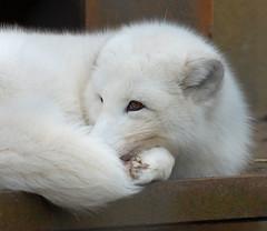 Blijdorp (Eisbeertje) Tags: animal animals zoo rotterdam blijdorp nikon nederland dieren dier tier dierentuin tieren poolvos 29122008