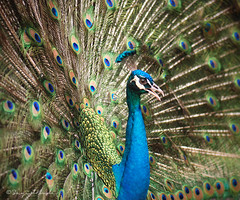 Dance of the Peacock (Sayid Budhi) Tags: beautiful peacock malaysia kualalumpur burung malepeacock klbirdpark beautifulbird bluepeacock goldstaraward burungmerak merakjantan