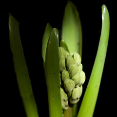 Hyacinth bulb (louisahennessysuou) Tags: light flower leaves bulb dark torch hyacinth platinumphoto 243365 january2009 t189project365