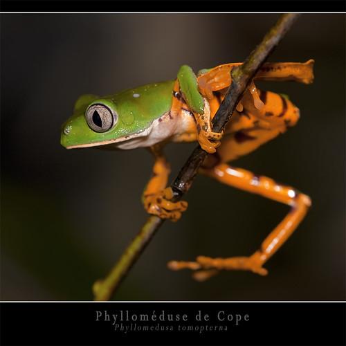 Phylloméduse de Cope (Phyllomedusa tomopterna)