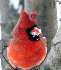 Snow face, Male Northern Cardinal (chippewabear) Tags: winter red urban snow tree male bird seasons cardinal seasonal january birdfeeder indiana crested birdwatching crabapple northerncardinal passeriformes cardinalidae indianastatebird rubyphotographer thewonderfulworldofbirds