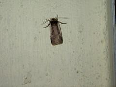 Ochropleura plecta, NGIDn58513255 (naturgucker.de) Tags: gaspoltshofen ochropleuraplecta sterreich naturguckerde obersterreich violettbrauneerdeule cdieterschneider ngidn58513255