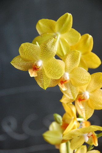 yellow week: orchid