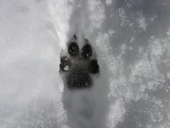 coyote track