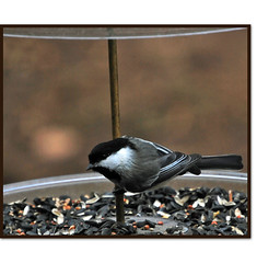 Little Pole Dancer (claire06010) Tags: bird backyard wildlife feeder blackcapchickadee mindigtopponalwaysontop