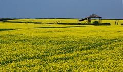 Barn Rape Seed Aston on Trent (♫ Russ Hamer) Tags: field yellow barn colours seed rape trent winner med derby weston bigmomma flickrchallengegroup flickrchallengewinner fotocompetitionbronze