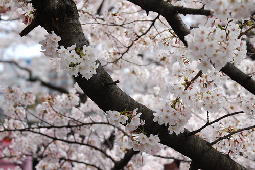 CherryBlossomBranch1