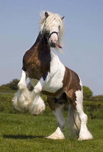 Tom Price Stallions - The Midget